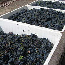 Grapes in Macrobins